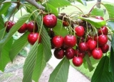 Alberi da frutto