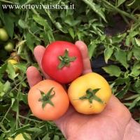 Pomodoro Cerrato di Francavilla