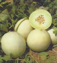 Melone Egiziano